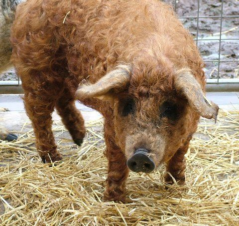 Brings new meaning to the phrase sheep pig - apologies to Babe. mangalitza pig