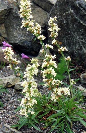 Penstemon confertus - Yellow Penstemon