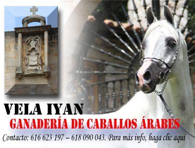 Arábigan: La Web del Caballo Árabe - El Caballo árabe y su mundo: Morfológicos, cuidados, ganaderías, veterinaria, compras, ventas....