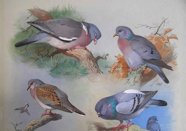 Beautiful art poster of the 4 major pigeons and doves of Eurasia: A Wood Pigeon, A Stock Dove, A Turtle Dove, A Rock Pigeon