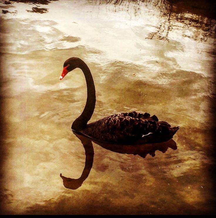 Love this photo I took of the beautiful black swan down the lake  #blackswan #bird #swan #black #lake #lakepertobe #warrnambool3280 #filter #destinationwarrnambool #beautiful #elegant #birdsofinstagram #birdstagram #longneck #wildlife #wildlifephotography #wildlifeaddicts #nature #natureporn #photoaday #picoftheday #instabird #birdwatcher #rustic #reflection #reflectiongram #shadow #australiagram #instacool by tbag_16
