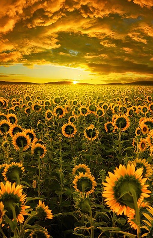 Sunflower Fields......beautiful!!! I love!!!!!