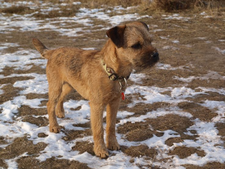 """Border terrier Eddie: """"hmm am i seeing a nice looking young lady?"""""""