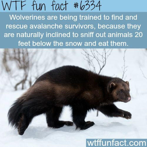 WHOA! ...Wolverines can help rescue avalanche survivors - WTF fun facts
