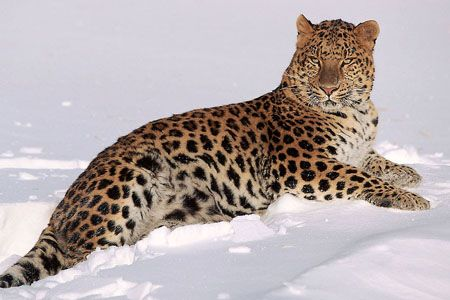 Leopardo Amur en la nieve