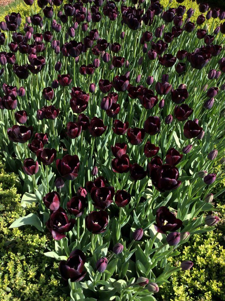 Wine color tulips
