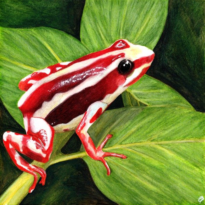 Phantasmal poison dart frog by Liz Powley. My first attempt with Derwent Inktense pencils.