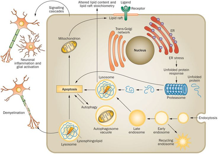 lysosomal storage disease pathway - Google Search