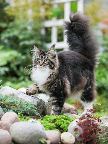 Beautiful Maine Coon;  this looks just like my cat Tootsie Foots who lived to be 19.  He had six toes on his front feet and was a Maine Coon Cat.  I loved him so much.  He was the sweetest cat.