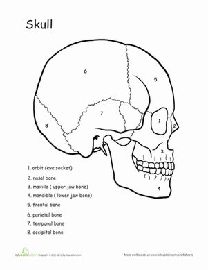Fifth Grade Life Science Worksheets: Awesome Anatomy: Skull Science