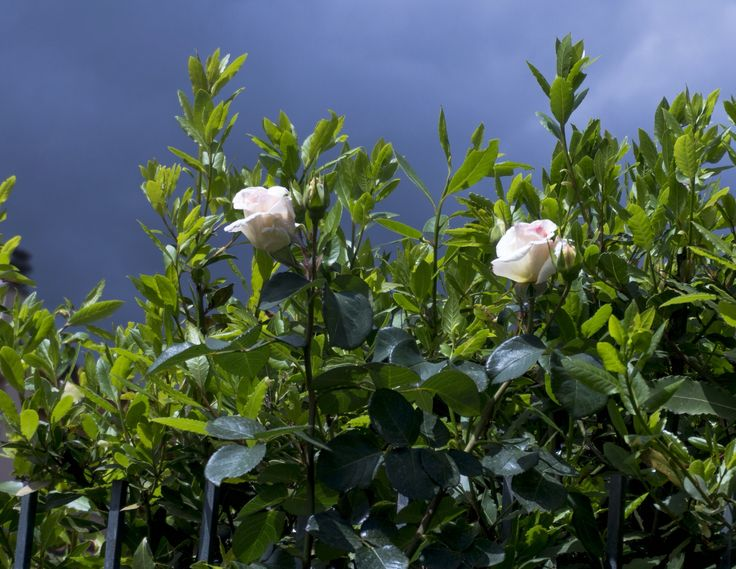 Due rose bianche e cielo