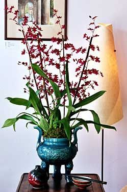 An orchid that smells like chocolate.  Orchids and chocolate, two of my favorite things.