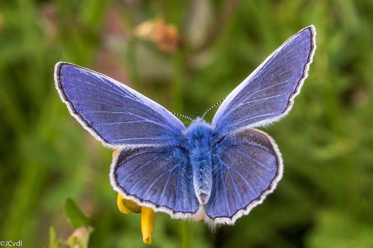 Common Blue by Wilco van der Laan Fotografie on 500px