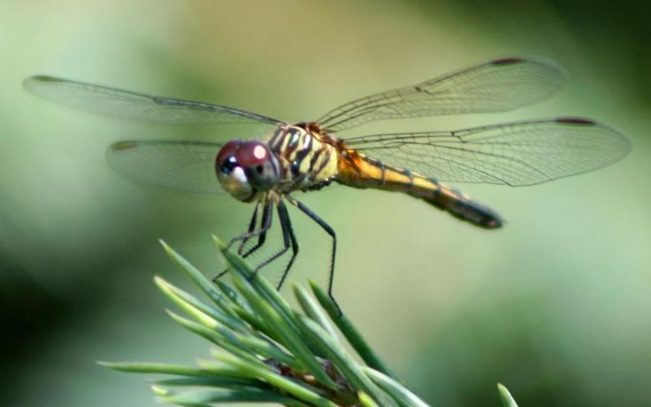 The world's leading helicopter manufacturer designed a helicopter based on dragonflies.  Sandflies can flap their wings 1000 times A SECOND!!   SubhanAllah!
