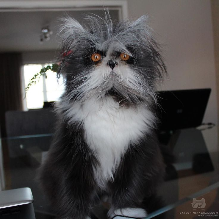 """From @atchoumfan: """"Hello my name is Atchoum a hairy but not scary Persian kitten and I have a very rare congenital condition called hypertricosis, also known as werewolf syndrome. It means I have a hormonal condition that causes fast and continual..."""