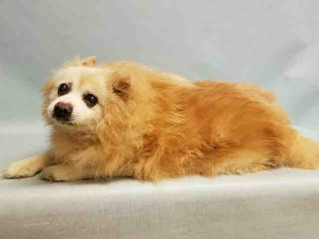 PULLED BY IMAGINE PET RESCUE - 07/14/16 - TO BE DESTROYED - 07/14/16 - **SENIOR ALERT* - PRINCE PAUL - #A1080856 - Super Urgent Manhattan - MALE TAN/WHITE POMERANIAN MIX, 12 Yrs - OWNER SUR - ONHOLDHERE, HOLD FOR ID Reason OWNER SICK - Intake 07/11/16 - Due Out 07/19/16 - TENSE, IN PAIN, GROWLING, CONSTANT BLEEDING FROM BROKEN NAILS