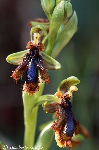 Orquídeas   Bee orchids                                                                                                                                                      Mais
