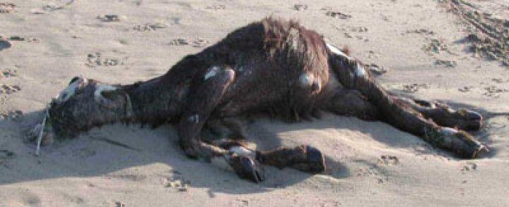 EBOLI: Bufali maschi soppressi, il caso di Eboli finisce in Europa
