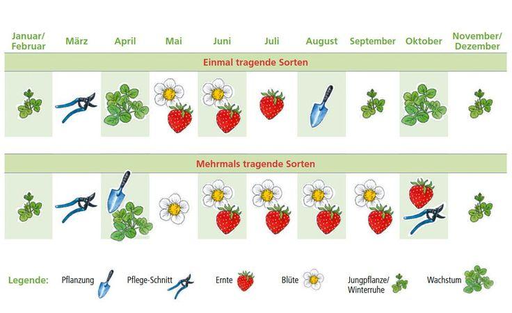 Pflege-Kalender für einmal und mehrmals tragende Erdbeeren