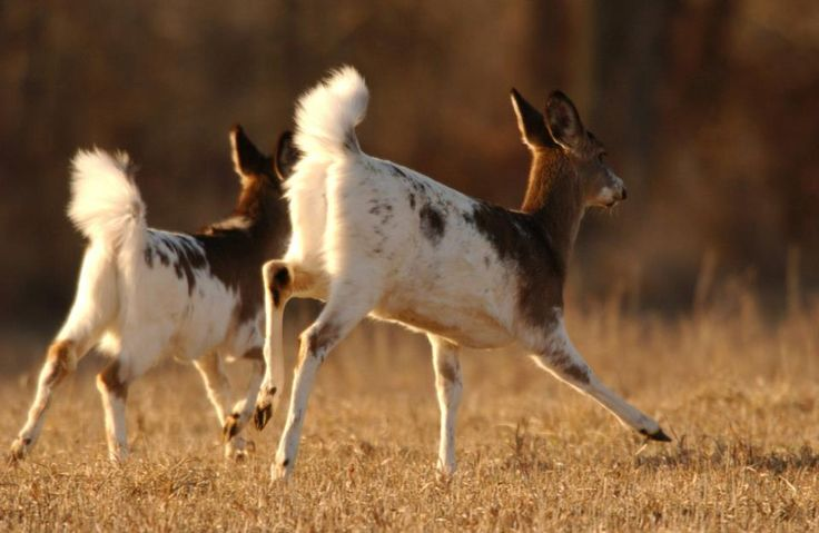 Piebald deer running on the campus of the U.S. Fish and Wildlife Service's National Conservation Training Center in Shepherdstown, West Virginia.
