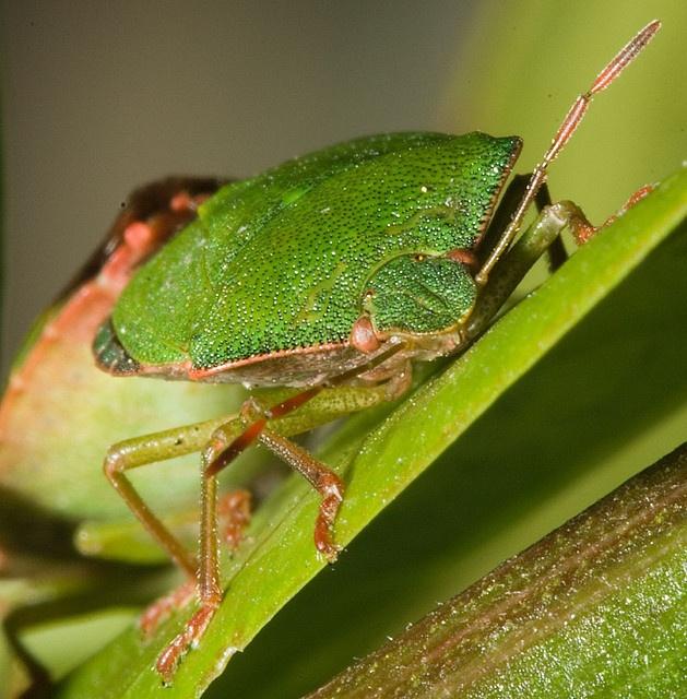 Mating shieldbugs by Robert Seber