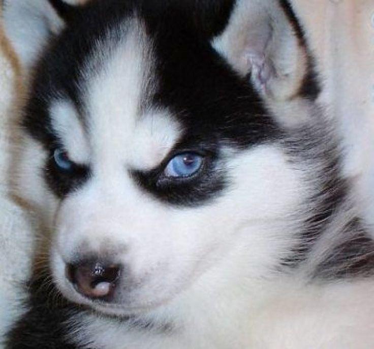 angry husky puppy - photo #14