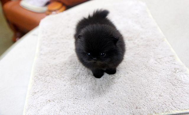 black teacup pomeranian puppy aka cutest thing ever.