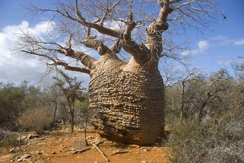 5 Adansonia samibarensis BAOBAB SEEDS SEMI CACTUS TREE ...