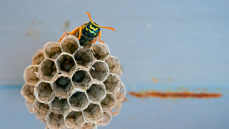 How to get rid of waspsand what to do if you find a nest