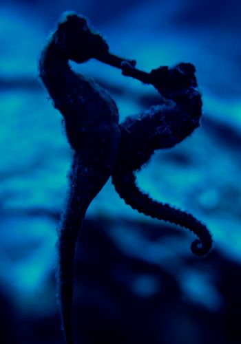 seahorse love :)