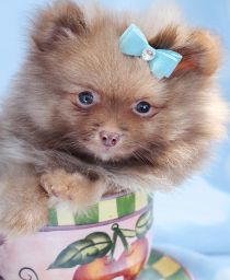 Adorable Pomeranian Puppy by TeaCups, Puppies & Boutique