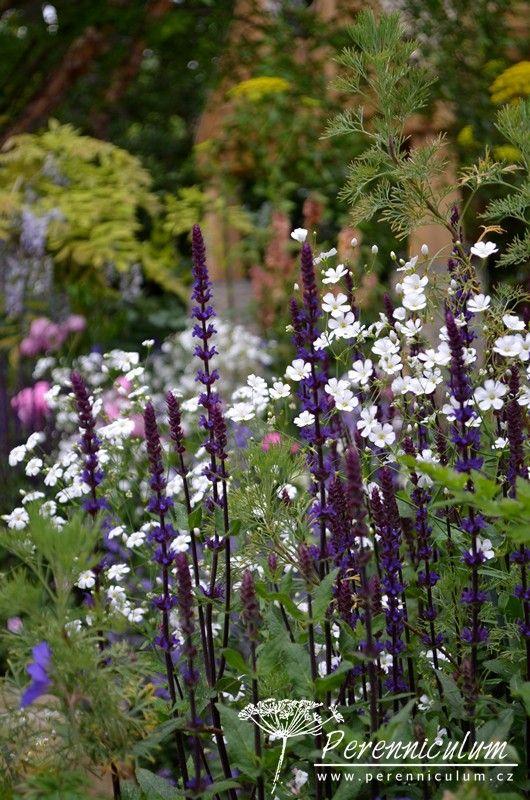 Opět Salvia 'Caradonna' tentokrát romanticky doplněná jemnými květy Gypsophila elegans 'Covent Garden'.