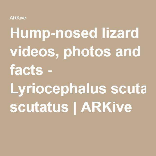Hump-nosed lizard videos, photos and facts - Lyriocephalus scutatus | ARKive