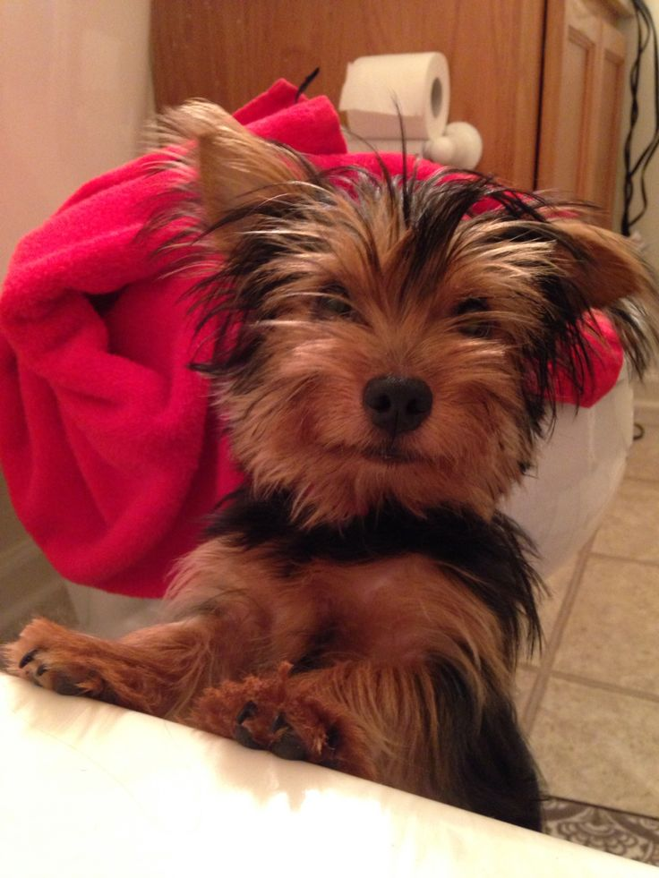 yorkie tzus 17 best ideas about yorkie shih tzu mix on pinterest 973