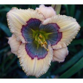 Hemerocallis Blue-Desire daylilyBeautiful Flower, Exotic Flower, Gardens, Hemerocallis Blue Desire, Daylily Flower, Desire Daylily, Blue Flower, Wedding Flower, Day Lilies