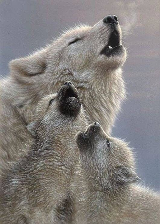 Momma wolf teaching her babies to howl ❤🐺