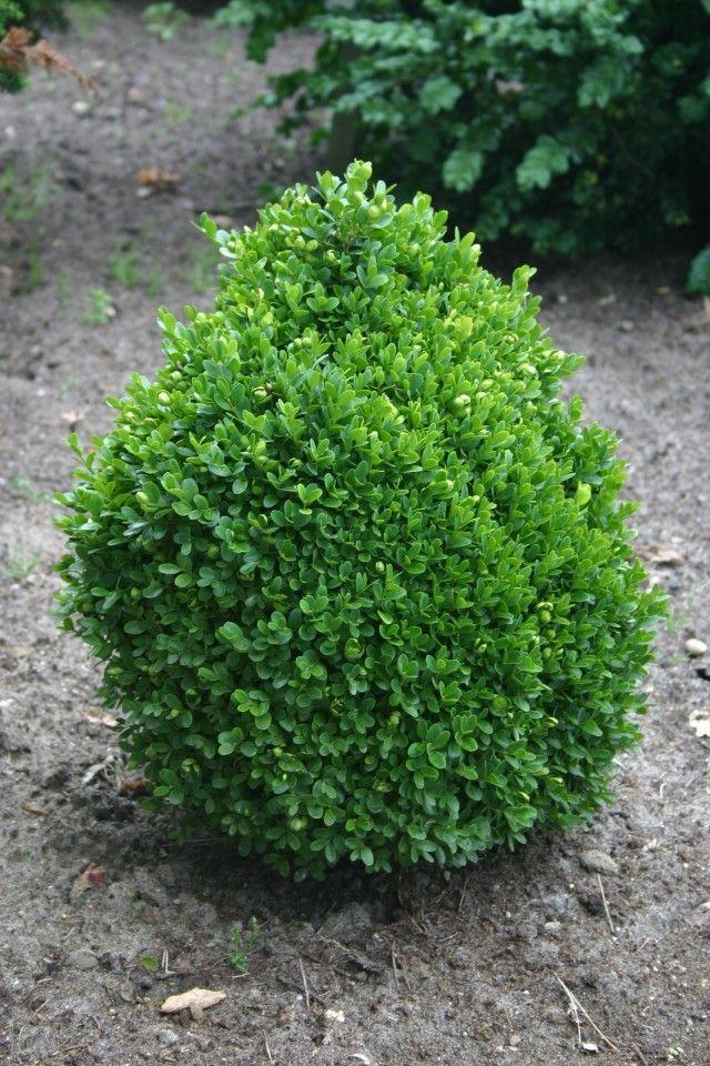 10 best images about broadleaf evergreens on pinterest. Black Bedroom Furniture Sets. Home Design Ideas