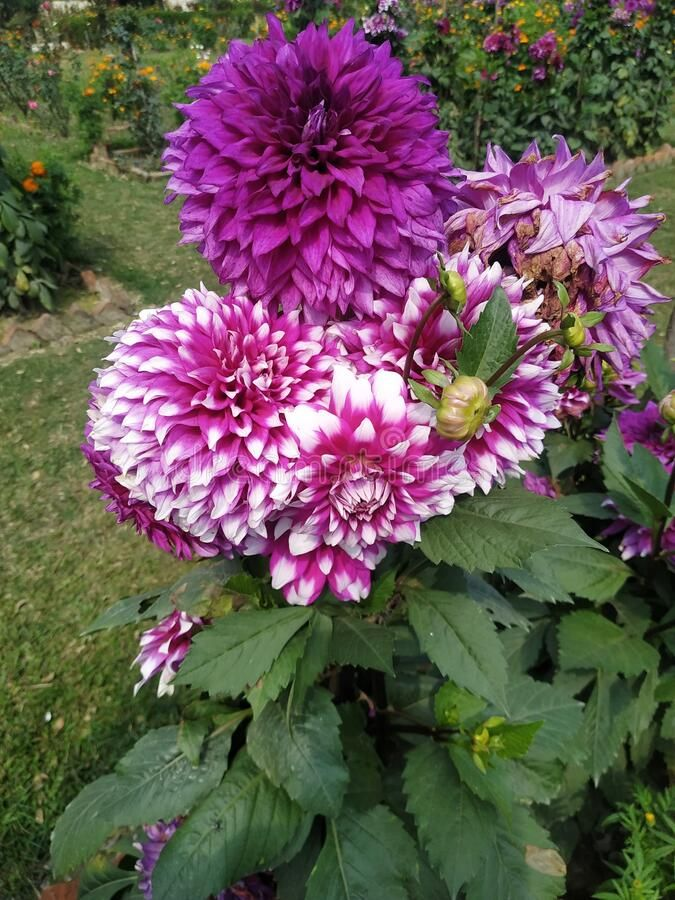 Photo About Colorful Of Marigold Flower White Pink And Purple Green Leaf Natural Image Of Whitepink Marigold Leaf 1 Marigold Flower Flowers Green Leaves