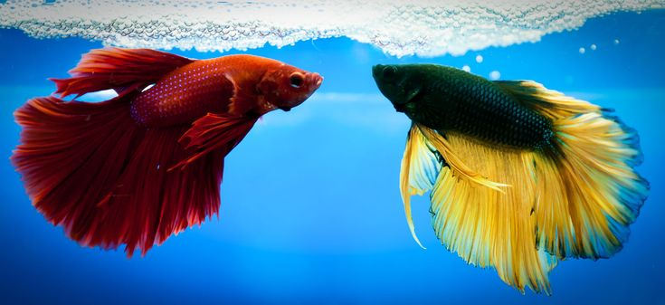 17 best images about betta fish on pinterest betta fish for Betta fish life span
