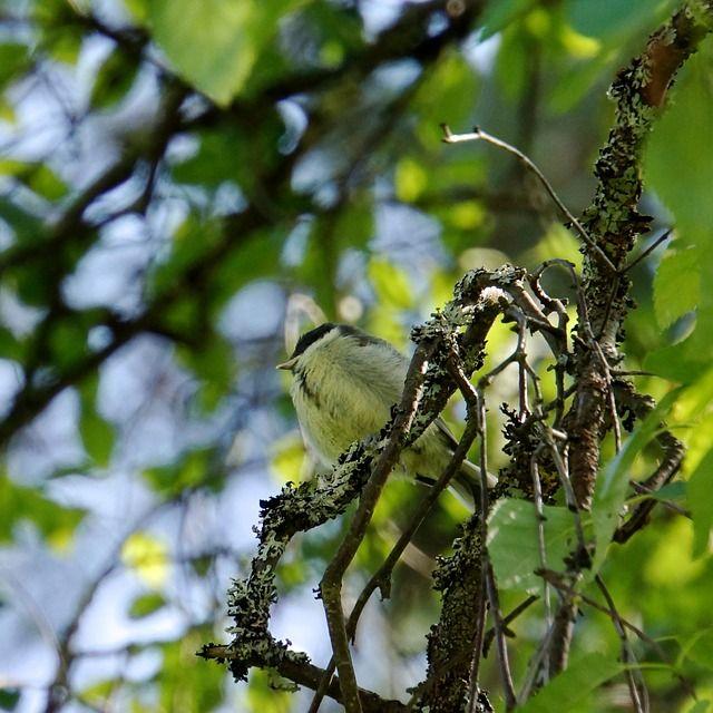Nuori linnun poikanen ihan itse täällä istun ja laulan.