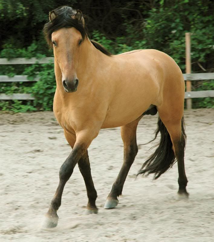 """The model for """"Spirit"""" was a 3-year-old Kiger stallion named Donner (this is not Donner in the pic but it is a Kiger stallion)"""