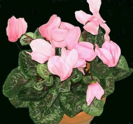 Ciclamino -Come curare e coltivare le nostre piante di ciclamino