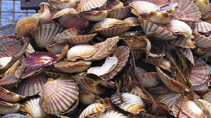 You can buy the freshest plumpest scallops at Allan Barnett Fishing Co in Bridport during winter!