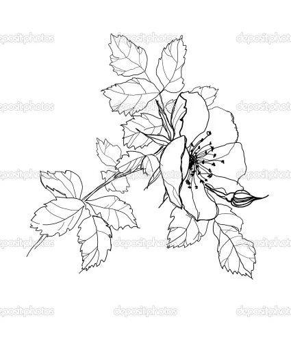 Dog rose, rosa canina drawing