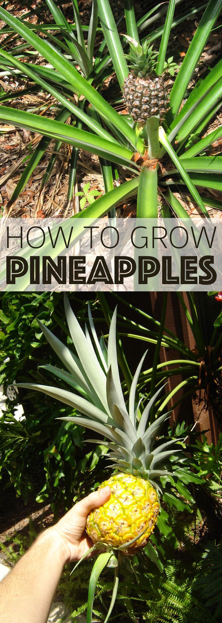 Best 25 pineapple growing ideas on pinterest grow for How do i plant a pineapple top