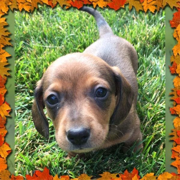 Dachshund Puppies Dachshund Puppies Puppies Dachshund Lovers