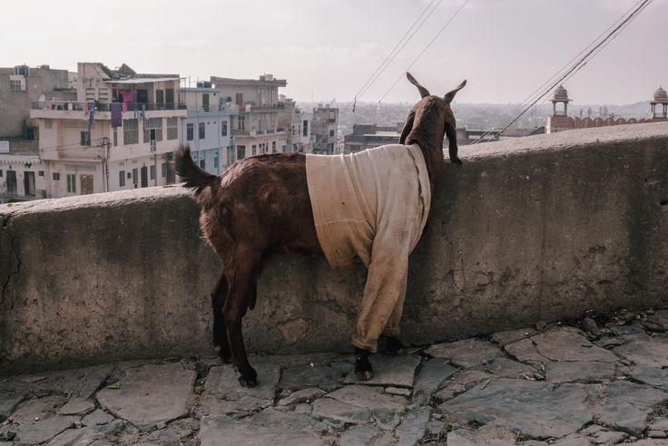 ITAP of a goat in a shirt http://ift.tt/2jZ9gEj
