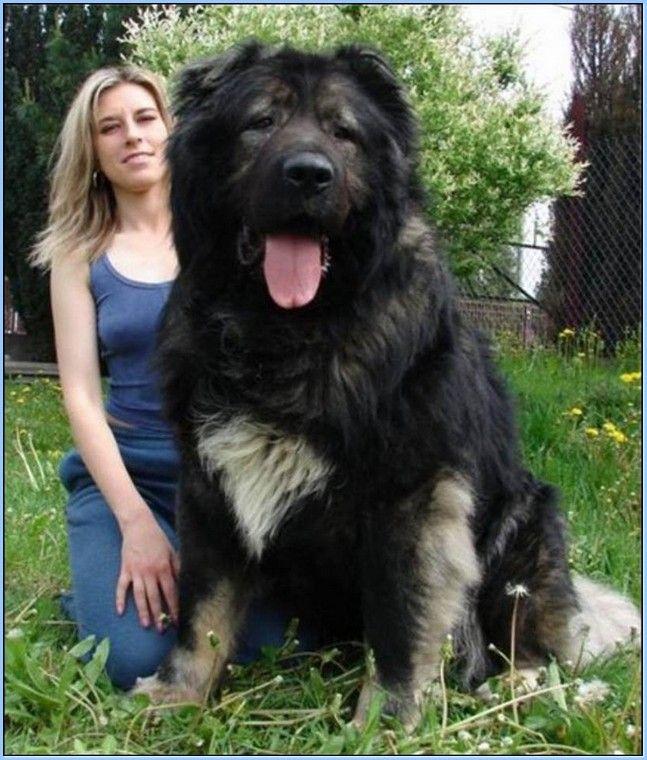 How Big Do Caucasian Mountain Dogs Get