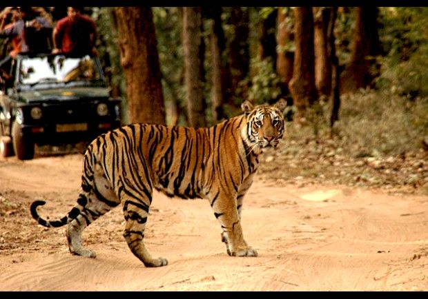 Bengal tiger in the Kanha Tiger Reserve in India.