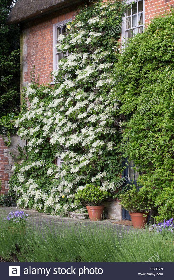 25 best ideas about climbing hydrangea on pinterest - Hydrangea petiolaris ...